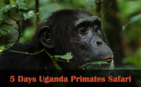 uganda chimpanzee tracking kibale np
