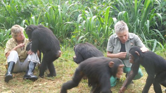 chimpanzee close up in Uganda wildlife education centre