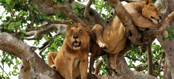 tree climbing lion in Ishasha sector, Queen Elizabeth National Park