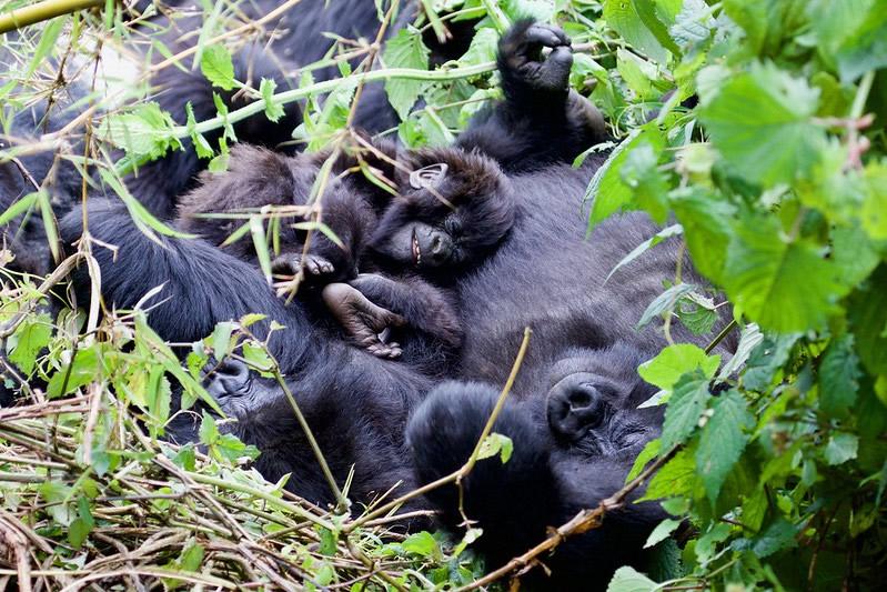 1 Day Gorilla Trek Rwanda Budget Gorilla Trek In Rwanda